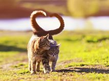 Two young cats walk in a Sunny meadow on a spring day raising their tails and wrapping them in the shape of a heart. Two beautiful young cats walk in a Sunny royalty free stock images