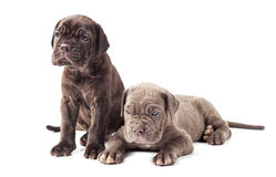 Two beautiful young puppies italian mastiff cane corso Royalty Free Stock Photography