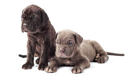Two beautiful young puppies italian mastiff cane corso (1 month) Royalty Free Stock Photos