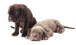 Two beautiful young puppies italian mastiff cane corso 1 month. On white background royalty free stock image