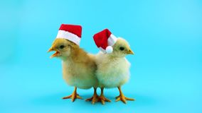 Two beautiful young roosters in red Santa Claus hat, 2017 New Year concept. Blue screen ready for chroma key, isolated on blue screen for keying stock video footage