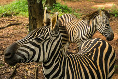 Two beautiful Zebra with black and white striped standing near a tree photo taken in Ragunan zoo Jakarta Indonesia Royalty Free Stock Photography