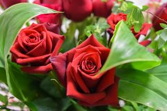Two beautifull red roses bouquet flowers and foliage. Red roses nature leaves Stock Photos