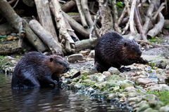 Two Beavers Stock Photography