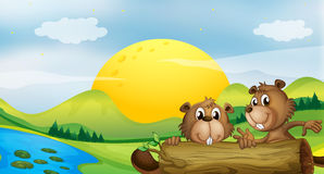 Two beavers at the riverbank Royalty Free Stock Image
