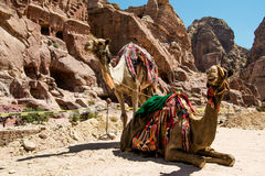 Two bedouin camels rests near caves. Summer vacation, eco tourism, tourist transport concept. Petra, Jordan. Photo of the Two bedouin camels rests near caves Royalty Free Stock Photography