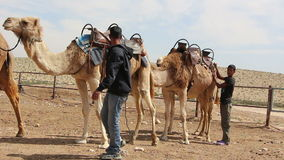 Two Bedouin teenagers preparing their camels. Footage of Camel Caravan stock video