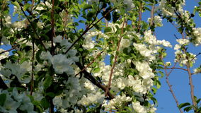 Two bee on an apple tree blossom. Bright summer day with blue sky, green apple tree, white flowers stock video