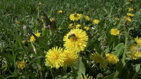 Two bee is collecting the pollen on dandelion flowers. Slow motion closeup stock video
