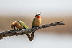 Two Bee-eater sitting on branch Stock Images