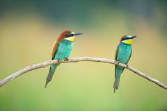 Two Bee-eaters on a branch Royalty Free Stock Images