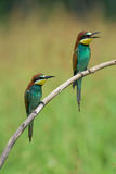 Two Bee-eaters on a branch Stock Images