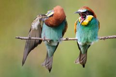 Two bee-eaters sitting on a branch on a beautiful background royalty free stock photos