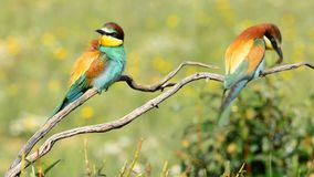 Two Bee-eaters. On tree branch stock video
