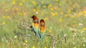 Two Bee-eaters. On tree branch stock video footage