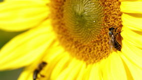 Two bee fight for the best spot on sunflowers head. Different shots of sunflower and bees gathering the pollen on flower head stock video footage