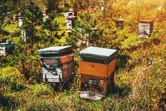 Two bee-hives on autunm meadow with apiary. Close-up view of two wooden beehives standing on meadow and surrounded by small spruces, native grasses and Royalty Free Stock Photo