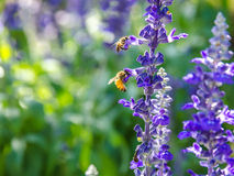 Two bee on lavender flowers. Stock Photos