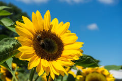 Two bee sitting on sunflower with blue sky Stock Photos