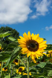 Two bee sitting on sunflower with blue sky Stock Image