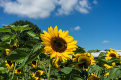 Two bee sitting on sunflower with blue sky Royalty Free Stock Photo