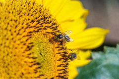 Two bee on the sunflower Royalty Free Stock Photos