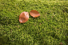 Two beech leaves on green moss. In autumn Royalty Free Stock Image