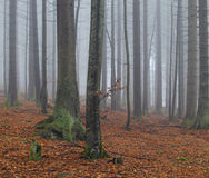 Two beeches in misty autumn forest Stock Photography