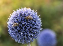 Bees on Echinops. Two Beed on Echinops or Globe Thistle. Green Blurry Background stock image