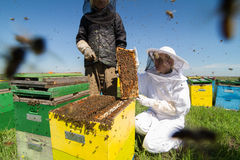 Two beekeepers checking the honeycomb of a beehive. Horizontal front view of two beekeepers checking the honeycomb of a beehive with bees swarming around them Stock Images
