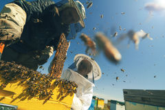 Two beekeepers checking the honeycomb of a beehive. Horizontal front view of two beekeepers checking the honeycomb of a beehive with bees swarming around them Royalty Free Stock Photos