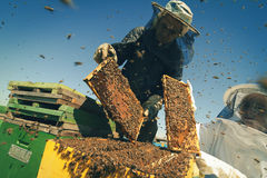 Two beekeepers checking the honeycomb of a beehive Royalty Free Stock Images