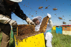 Two beekeepers checking the honeycomb of a beehive. Horizontal front view of two beekeepers checking the honeycomb of a beehive with bees swarming around them Stock Photo