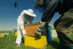 Two beekeepers lifting a honeycomb crate. Horizontal rear view of two beekeepers working on the beehives with bees swarming around them Stock Image