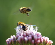 Two bees Stock Image