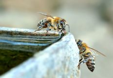 Two bees around the water stock photography