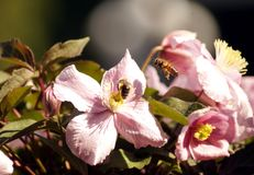 Two bees on big pink flowers of Clematis montana in botanical ga stock image