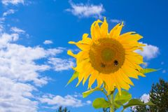 Two bees collect nectar from a sunflower. Royalty Free Stock Photos