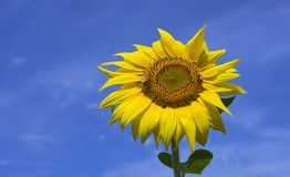Two bees collect nectar on sunflower. Two bees collects nectar on sunflower. A bright yellow sunflower on a blue sky background stock photos
