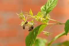 Two bees collect nectar. On raspberry flowers royalty free stock image