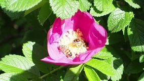 Two bees collect pollen from one pink bloom of dog rose stock footage