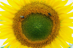 Two bees collect pollen on sunflower royalty free stock image