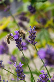 Two bees collecting nectar at lavender Stock Photos