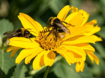 Two bees collects pollen from yellow flowers perennial aster Stock Photos