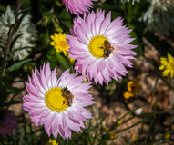 Two bees on everlastings. Two honey bees gather nectar from flowers Stock Photo