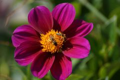 Two bees and a flower - Front view. A flower with the sun, in the center there are two bees which gather nectar and pollen. It is in outside, day and without royalty free stock photography
