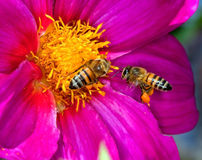 Two bees on flower royalty free stock photography
