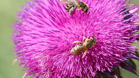 Two bees on flower. Macro