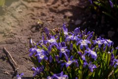 Two bees fly flying over a group of dissolved squill in a flowerbed stock images