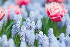 Two Bees Flying Among Pink And White Fringed Tulips And Blue Grape Hyacinths (muscari Armeniacum), Selective Focus Royalty Free Stock Photos